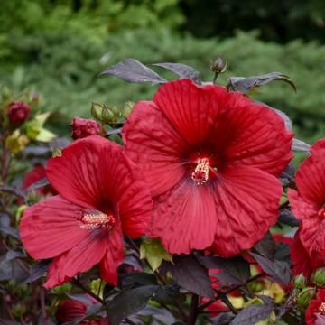 Hibiscus Summerific 'Holly Grail' (Hibiscus bagienny) - C5