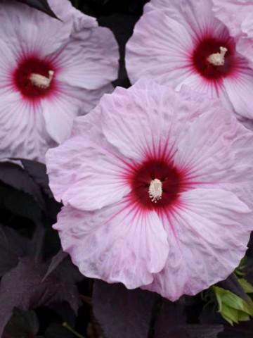 Hibiscus Summerific 'Dark Mystery' (Hibiskus bagienny) - C5