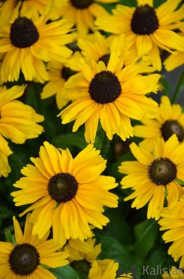 Rudbeckia Littlebeckia 'Sunshine' (Rudbekia) - C5
