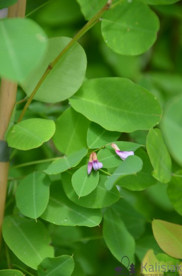 Lespedeza bicolor (Lespedeza dwubarwna) - C5