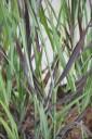 Panicum virgatum 'Purple Breeze' (Proso rózgowate) - C5