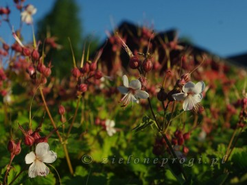 Geranium macrorrhizum 'Spessart' (Bodziszek korzeniasty) - C2