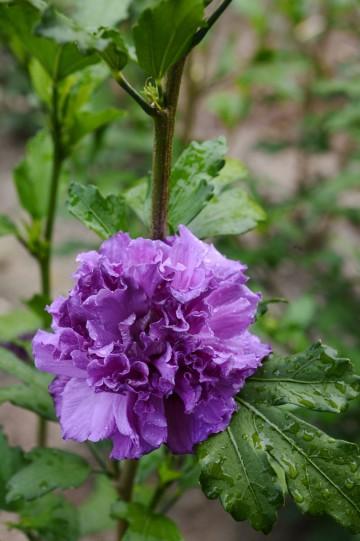 Hibiscus syriacus FRENCH CABARET PURPLE 'MINDOUV5' (Ketmia syryjska) - C9