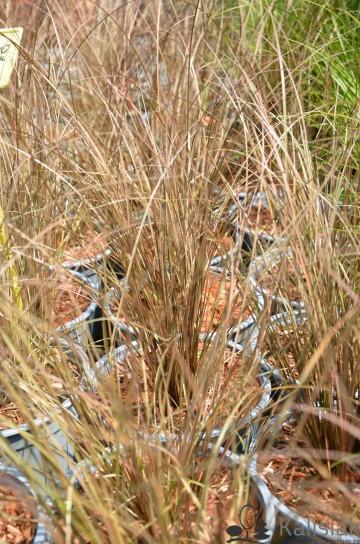 Carex petriei 'Milk Chocolate' (Turzyca Petriego) - C3