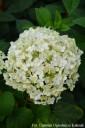 Hydrangea arborescens 'Annabelle' (Hortensja krzewiasta) - C7.5