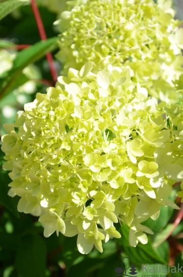 Hydrangea paniculata PINKACHU 'Smhppinka' (Hortensja bukietowa) - C3