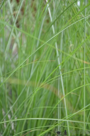 Miscanthus sinensis 'Gracillimus' (Miskant chiński) - C7,5