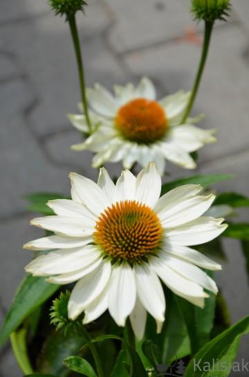 Echinacea 'Innocent Meadow Mama' (Jeżówka) - C2