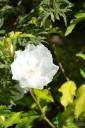 Hibiscus syriacus WHITE CHIFFON 'Notwoodtwo' (Ketmia syryjska) - C2