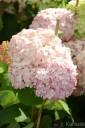 Hydrangea arborescens 'Candybelle Bubblegum' (Hortensja krzewiasta) - C3