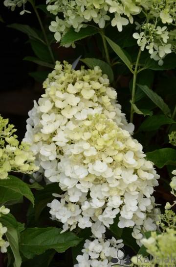 Hydrangea paniculata LIVING LITTLE BLOSSOM (Hortensja bukietowa) - C6