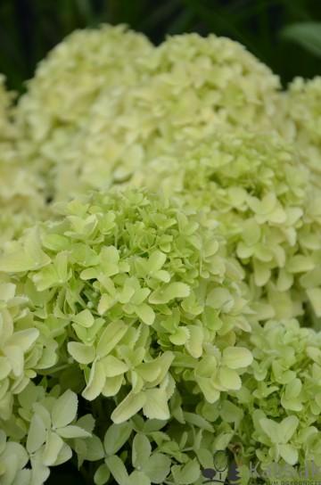 Hydrangea paniculata 'White Light' (Hortensja bukietowa) - C4