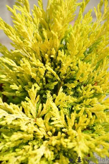 Juniperus horizontalis 'Limeglow' (Jałowiec płożący) - C2