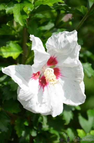 Hibiscus syriacus 'Red Heart' (Ketmia syryjska) - C2