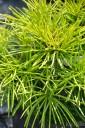 Sciadopitys verticillata (Sośnica japońska) - C5