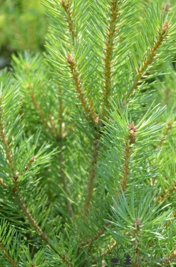 Pinus sylvestris 'Saxatilis' (Sosna pospolita) - C5
