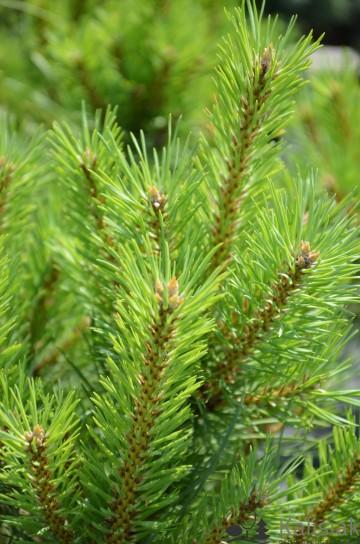 Pinus sylvestris 'Juto' (Sosna pospolita) - C5