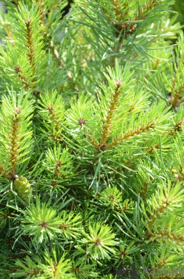 Pinus sylvestris 'Frensham' (Sosna pospolita) - C5