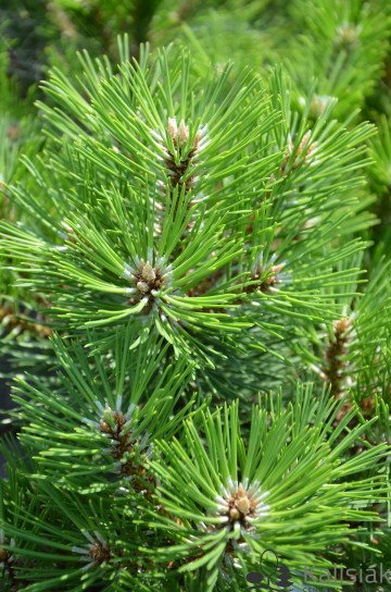 Pinus nigra 'Nana' (Sosna czarna) - C5