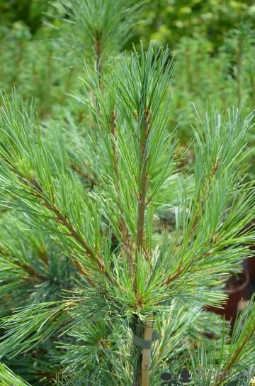 Pinus monticola 'Ammerland' (Sosna zachodnia) - C5