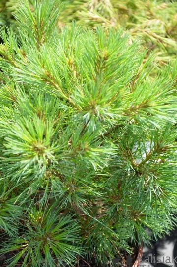 Pinus strobus 'Greg' (Sosna wejmutka) - C5