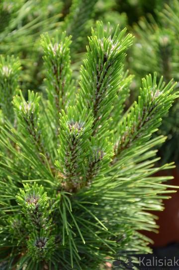 Pinus thunbergii 'Sayonara' (Sosna Thunberga) - C5