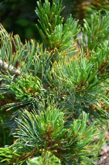 Pinus parviflora 'Dai-ho' (Sosna drobnokwiatowa) - C5