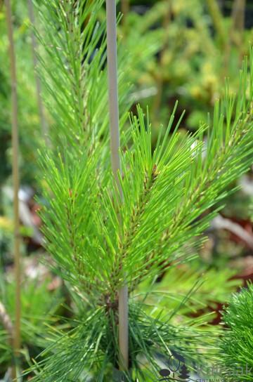 Pinus densiflora 'Pendula' (Sosna gęstokwiatowa) - C5
