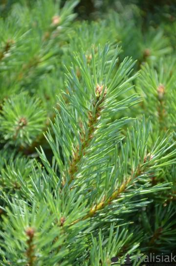 Pinus sylvestris 'Chantry Blue' (Sosna pospolita) - C5