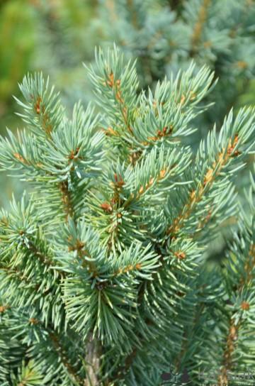 Picea pungens 'Fastigiata SDL 1' (Świerk kłujący) - C5