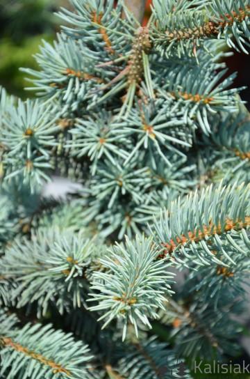 Picea pungens 'Białobok' (Świerk kłujący) - C5