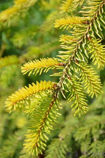 Picea omorika 'Aurea' (Świerk serbski) - C7.5