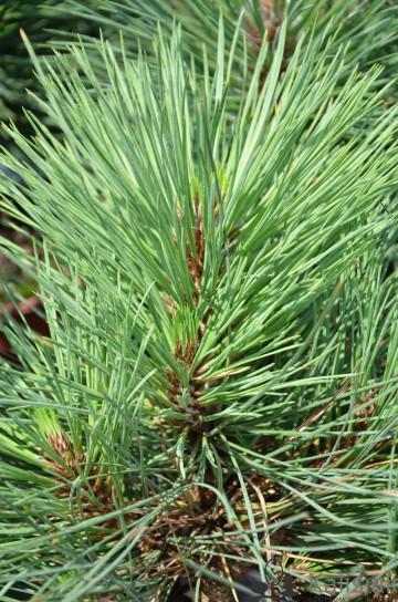 Pinus jeffreyi 'Joppi' (Sosna Jeffreya) - C5
