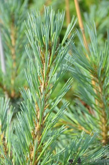Pinus flexilis 'Glauca' (Sosna giętka) - C5