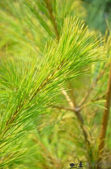 Pinus strobus 'Louie' (Sosna wejmutka) - C4