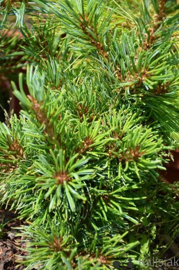 Pinus parviflora 'Shirobana' (Sosna drobnokwiatowa) - C5