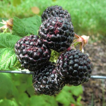 Rubus idaeus 'Heban' (Malina powtarzająca) - C3