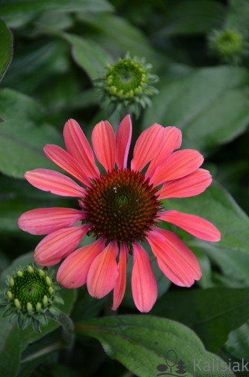 Echinacea 'Fountain Orange Bicolor' (Jeżówka) - C2