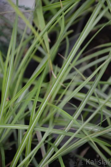 Miscanthus sinensis 'Verneigung' (Miskant chiński) - C2.5