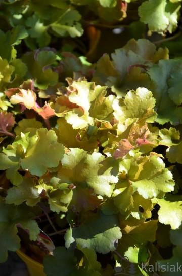 Heuchera hybrida 'Rockies Amber' (Żurawka) - C2
