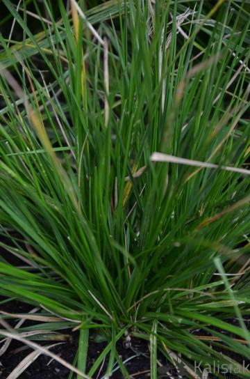 Deschampsia caespitosa 'Goldtau' (Śmiałek darniowy) - C2