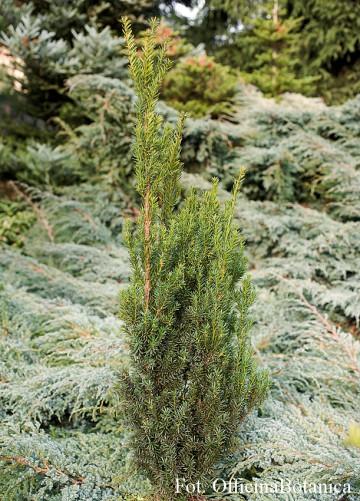 Taxus ×media 'Hillii' (Cis pośredni) - C2
