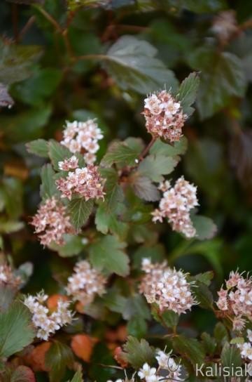 Physocarpus opulifolius LITTLE JOKER 'Hoogi021' (Pęcherznica kalinolistna) - C5