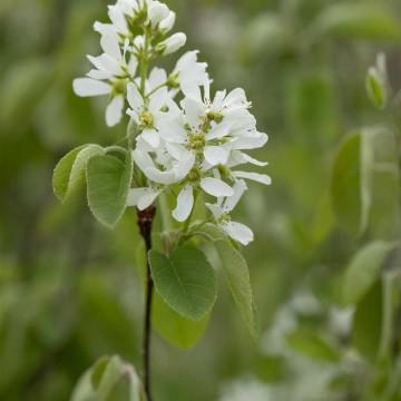 Amelanchier alnifolia 'Smoky' (Świdośliwa olcholistna) - C3