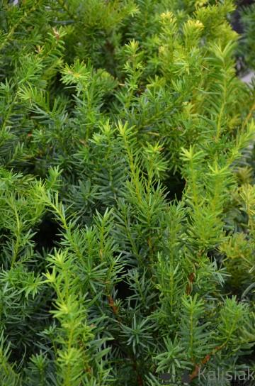 Taxus x media 'Densiformis' (Cis pośredni) - C3