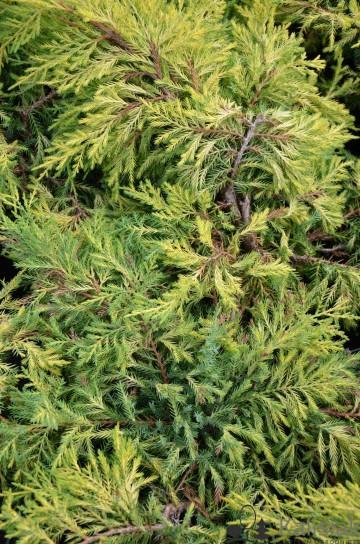 Juniperus x pfitzeriana 'King of Spring' (Jałowiec Pfitzera) - C3