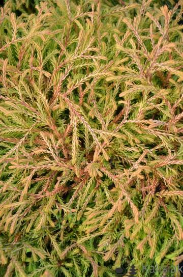 Thuja occidentalis 'Golden Tuffet' (Żywotnik zachodni) - C2