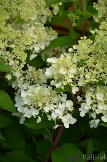 Hydrangea paniculata LIVING PINKY PROMISE (Hortensja bukietowa) - C3