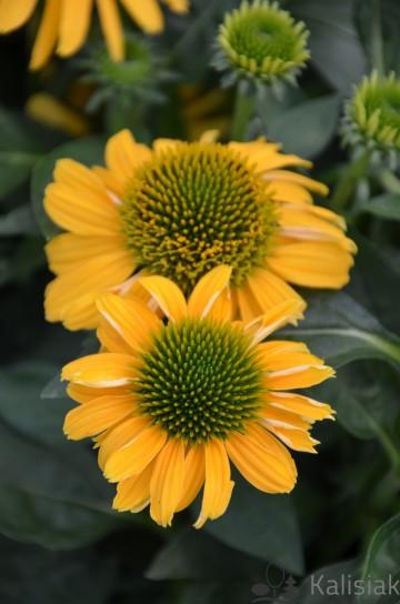 Echinaceae 'Lemontiny' (Jeżówka) - C2