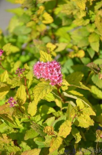 Spiraea japonica MAGIC CARPET 'Walbuma' (Tawuła japońska) - C2